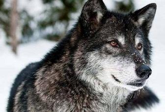 Волк слабее льва и тигра, но в цирке волк не выступает!